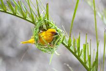 Golden Palm Weaver Bird (Ploce...