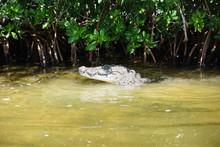 Wild Crocodile, Rio Lagartos, ...