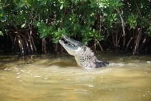 Wild Crocodile, Rio Lagartos, Nature Reserve, Yucatan Peninsula