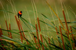 Southern Red Bishop IN lang reeds and green grass