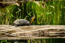 Blandings Turtle On A Log