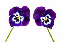 Due Fiori Di Violetta Su Fondo...