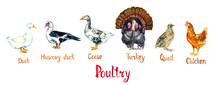 Poultry Set, White Domestic An...