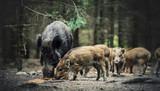 Fototapeta Zwierzęta - Dziki