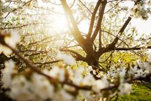 Apfelbau Mit Blüte Im Sonnenl...