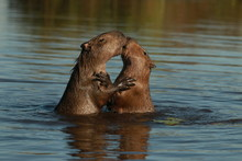 Kiss Between Two Capybara In T...
