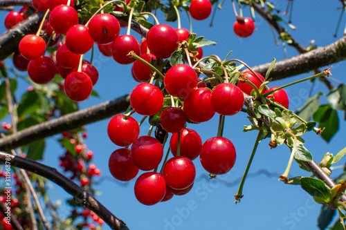 Fotografie, Obraz New harvest of Prunus cerasus sour cherry, tart cherry, or dwarf cherry in sunny