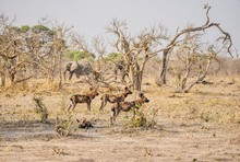 A Small Pack Of African Wild Dogs (Lycaon Pictus) Stands Alert, And Two Large Elephants Walk In The Background. Botswana.