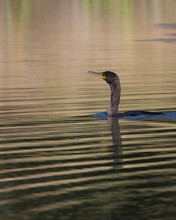 Double-crested Cormorant Divin...