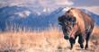 canvas print picture - bison