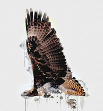 Close Up Of Brown Exotic Hawk ...
