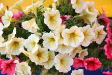 Yellow Petunias Closeup