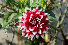 Dahlia Bushy Tuberous Herbaceous Perennial Plant With Large Composite Flower Head With Dark Red And White Central Disc Florets And Surrounding Ray Florets Surrounded With Dark Green Leaves