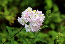 Fresh Wild Sweet William Or Saponaria Officinalis Or Common Soapwort Or Bouncing Bet Or Crow Soap Or Soapweed Plant With Cluster Of Sweetly Scented Open Blooming White And Light Pink Flowers