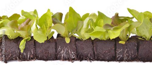 lettuce seedlings in lump of soil in line on white background