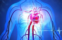Human Circulation Cardiovascular System With Heart Anatomy. 3d Illustration