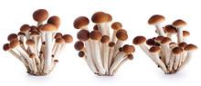 Honey Mushrooms (fungi) Isolated On White Background.