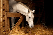White Horse Eating Hay (straw,...