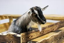 Black White Goat In The Paddock Closeup