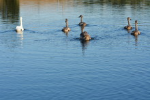 Young Grey Swans On The Lake