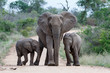 canvas print picture - Elephant herd in the Kruger National Park in South Africa