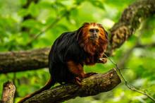 Golden-headed Lion Tamarin Monkey At The Apenheul In Apeldoorn In The Netrherlands