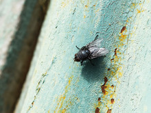 Seated Big Black Fly