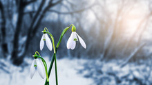 Gentle White Snowdrops On The Background Of The Forest In The Evening Sunlight_