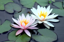 Bee Pollinating White And Pink Lotus Flower On Water