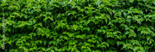 Photo Shrubs of green shrub in the park. Urban environment.