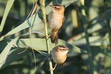 The Two Sedge Warbler (Acrocephalus Schoenobaenus) On The Reed In Soft Morning Light.