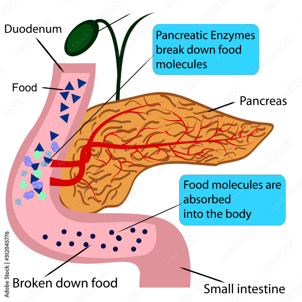 Fototapeta Pancreatic role and functionin digestion process in a human body  vector illustration