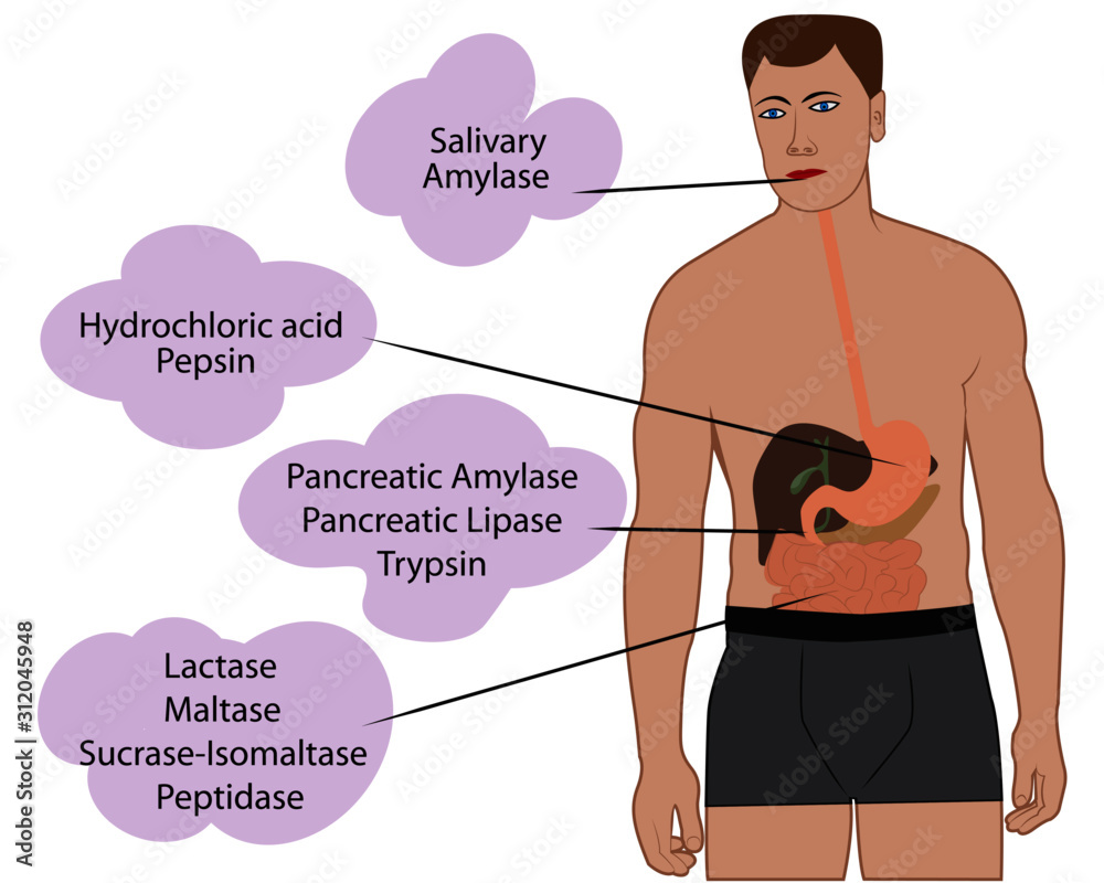Fototapeta Enzymes breaking down food. Digestive systems work vector illustrative infographics