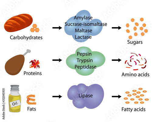 Photo How enzymes work. Fermentation and digestion food