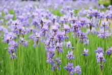 Blue Iris Flowers In The Garden