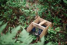 Harvesting Ripe Blueberries Wi...
