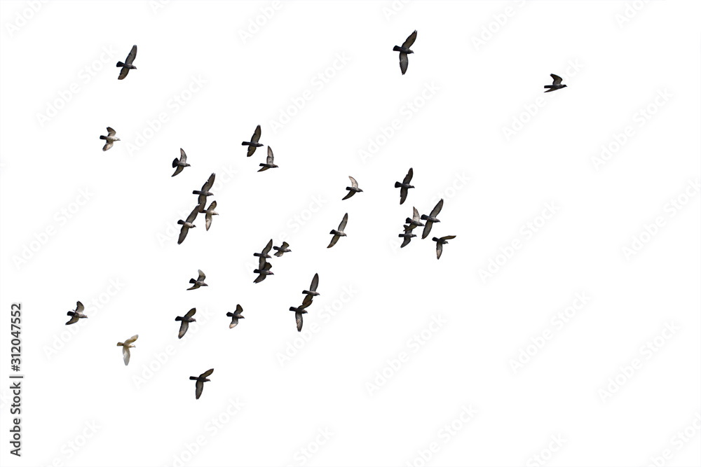 Fototapeta Flocks of flying pigeons isolated on white background. Clipping path.