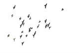 Stada latających gołębi na białym tle. Ścieżka przycinająca. - 312047552