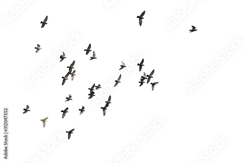 obraz dibond Flocks of flying pigeons isolated on white background. Clipping path.