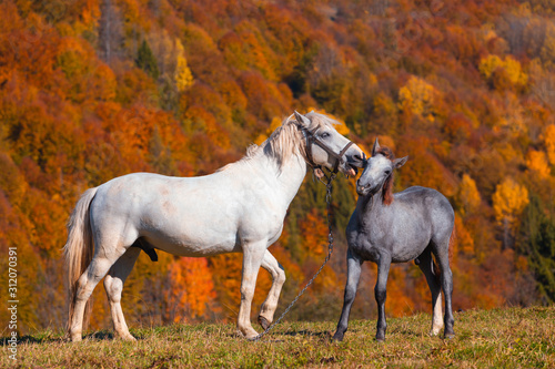 Foto White stallion with foal on mountain pasture in front of mountain hill, covered with fall autumn forest
