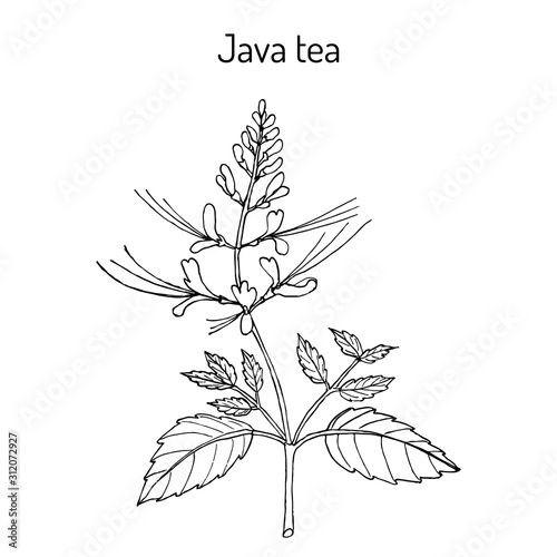 Photo Java tea Orthosiphon stamineus , medicinal plant