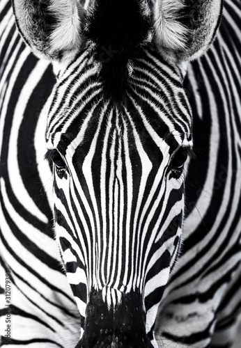 Obraz background which the structure of hide of zebra is represented on - fototapety do salonu