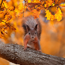 Square Portrait With Beautiful Fluffy Red Squirrel Sitting In Autumn Park On A Tree Oak With Bright Golden Foliage