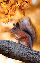 Beautiful Fluffy Red Squirrel Sitting In Autumn Park On A Tree Oak With Bright Golden Foliage