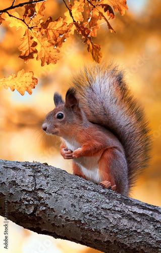 Fototapeta beautiful fluffy red squirrel sitting in autumn Park on a tree oak with bright Golden foliage obraz