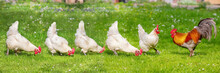 Free-range Poultry Running In ...
