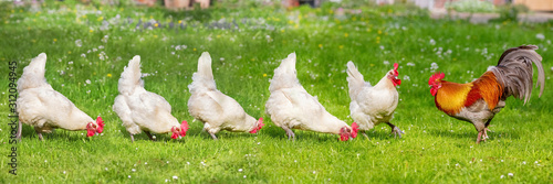 Fotomural Free-range Poultry Running in the Meadow