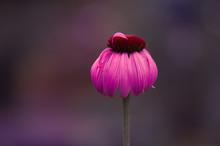 Purple Coneflower After Summer...