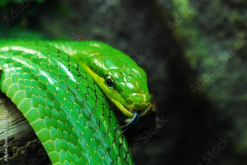 Photo Nice green arboreal ratsnake on branch nature reptile
