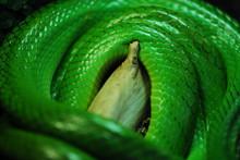 Nice Green Arboreal Ratsnake O...